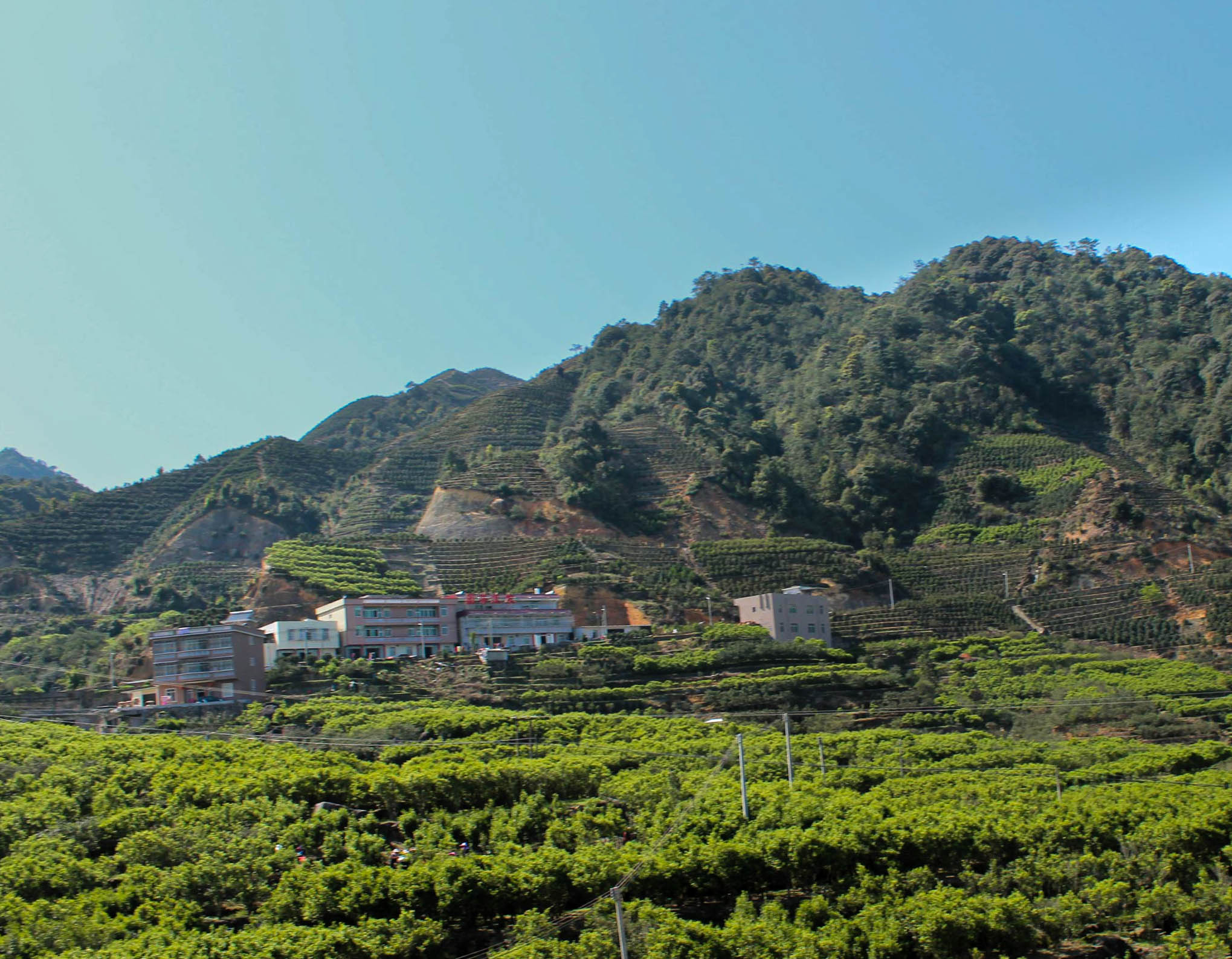 fenghuang-tea-field-8999_large-2